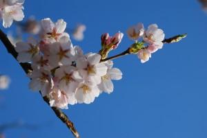 Třešeň květ