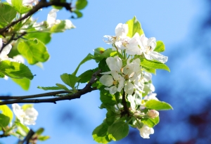 apple_blossom