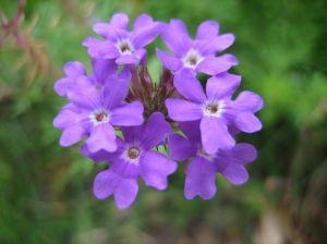 violet_flower