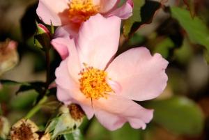 Šípková růže