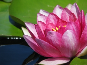 water_lily3
