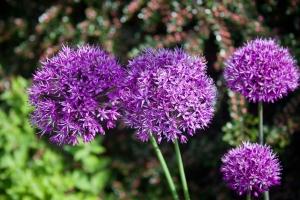 purple_alliums