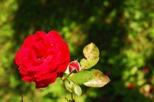 september-rose