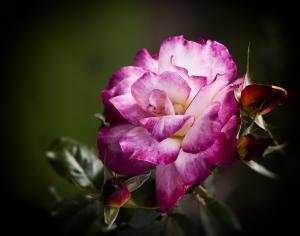 Růžovobílá růže