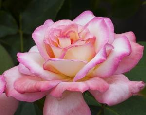 rose-one