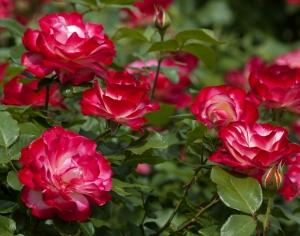 Skupinka růží