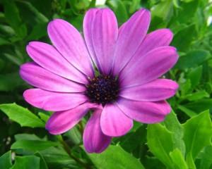 fialová_květina