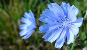 chickory_flowers