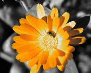 vcelka_na_kvetine
