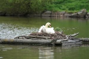 Hnízdící labuť