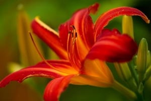 Červená lilie