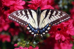 Motýl na azalce