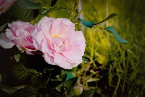 rose-1532190_640