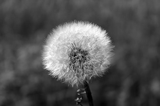 dandelion-bw