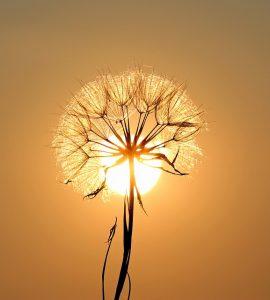 dandelion-sun