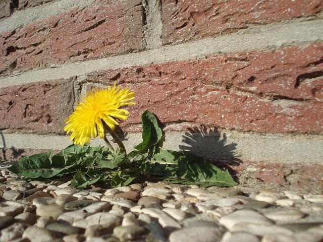 dandelion-wall