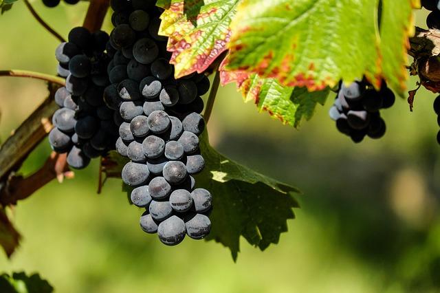 grapes-autumn
