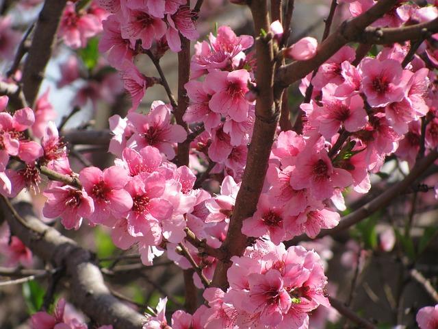 flower-peach