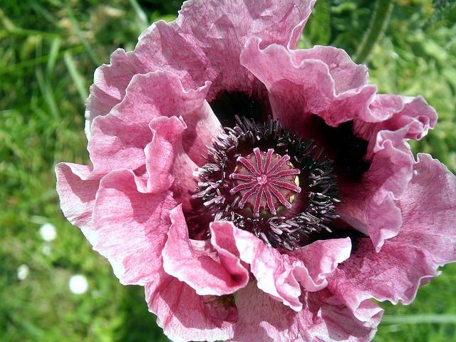 poppy-pink