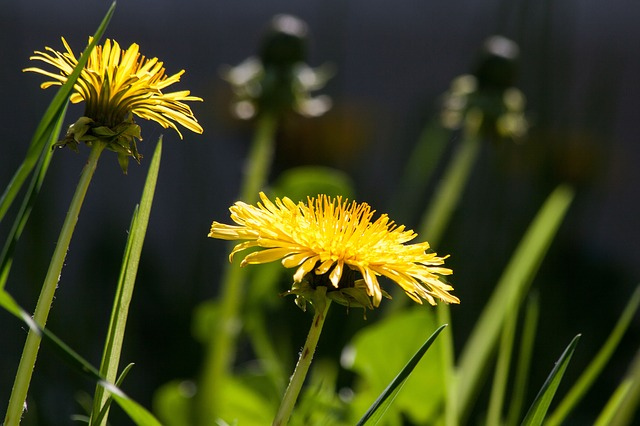 common-dandelion