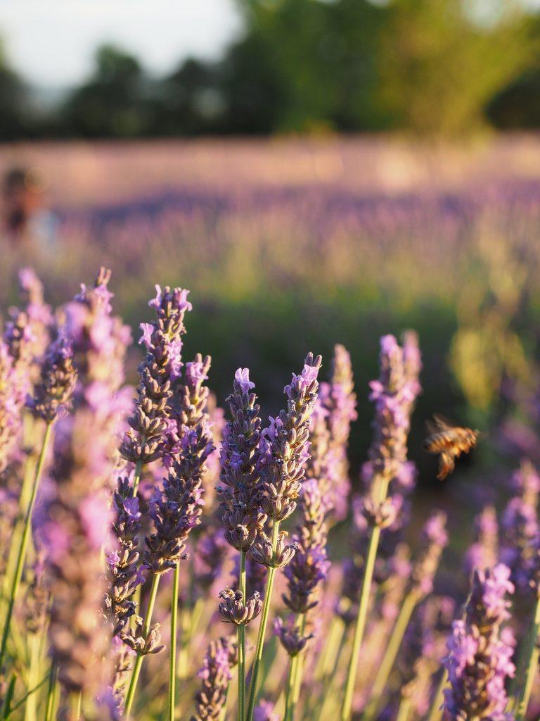 lavender-field-1521617_1920