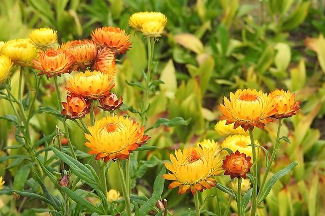 straw-flowers-1641577_640
