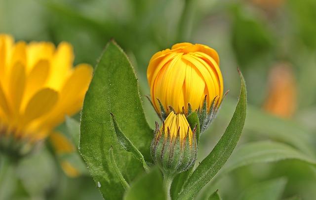 marigold-1503874_640