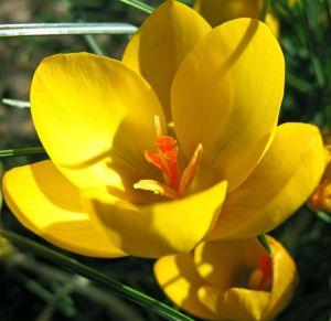 Žlutý krokus