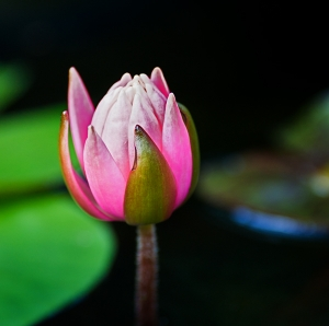 water_lily2