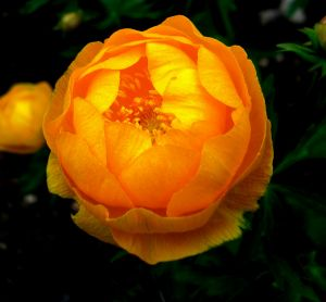 Oranžová růže