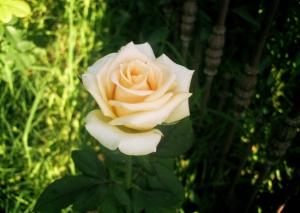 bella-flor