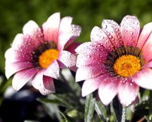 Dva krásné květy v ranním světle
