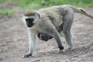 Opičí máma s mládětem