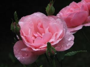 Růže po dešti