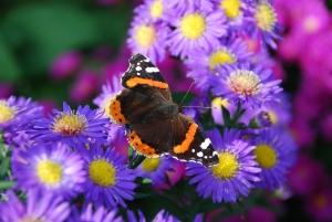 Motýl na květinách